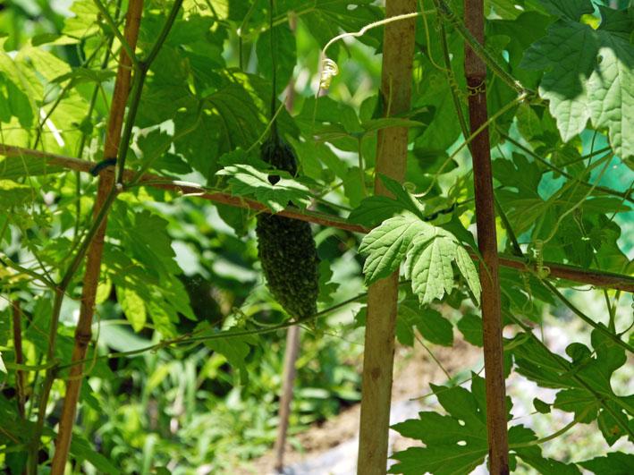 セスジスズメの幼虫サトイモの葉貪る&カボチャ初収穫7・12_c0014967_21551079.jpg