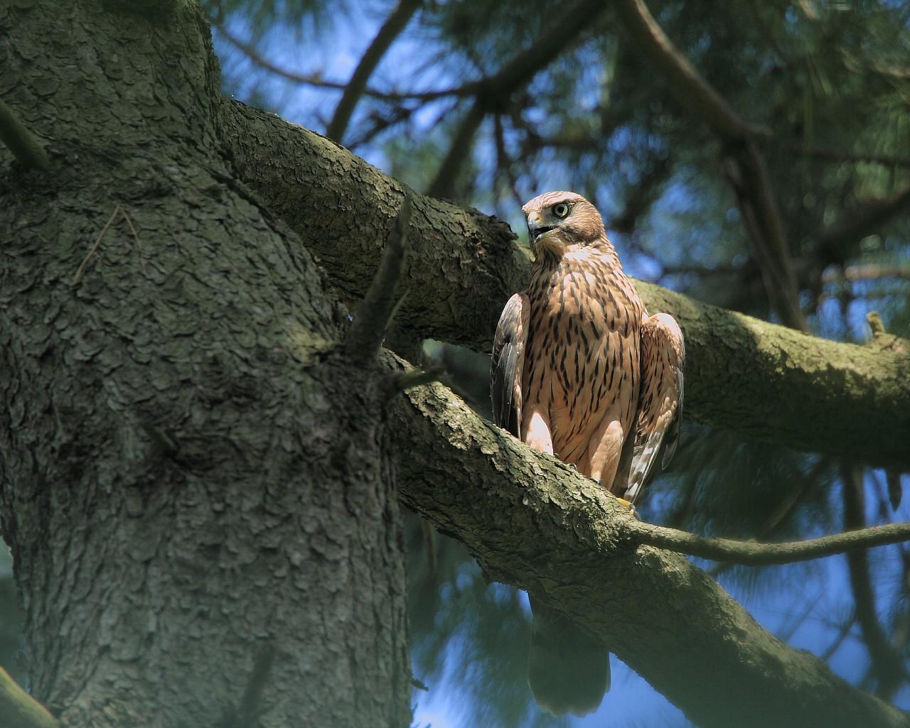 オオタカ幼鳥は元気でした。_f0105570_21513980.jpg