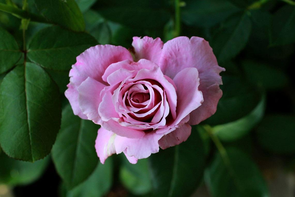 毎日観ていると。。。その色香に魅せられて!_a0107574_21120491.jpg