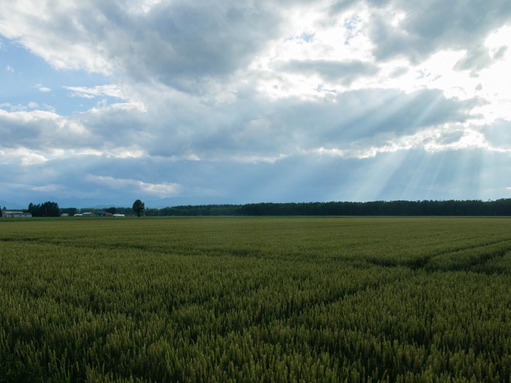 実った黄金色の小麦畑に・・雲の合間から光が射しています。_f0276498_19403096.jpg