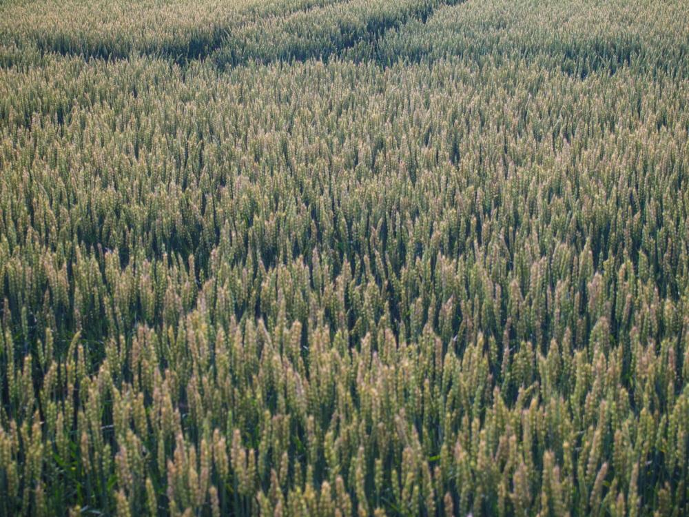 実った黄金色の小麦畑に・・雲の合間から光が射しています。_f0276498_19405432.jpg