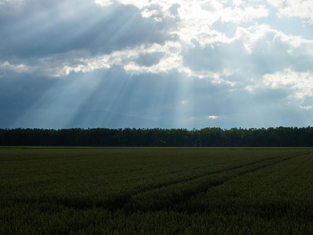 実った黄金色の小麦畑に・・雲の合間から光が射しています。_f0276498_19411258.jpg