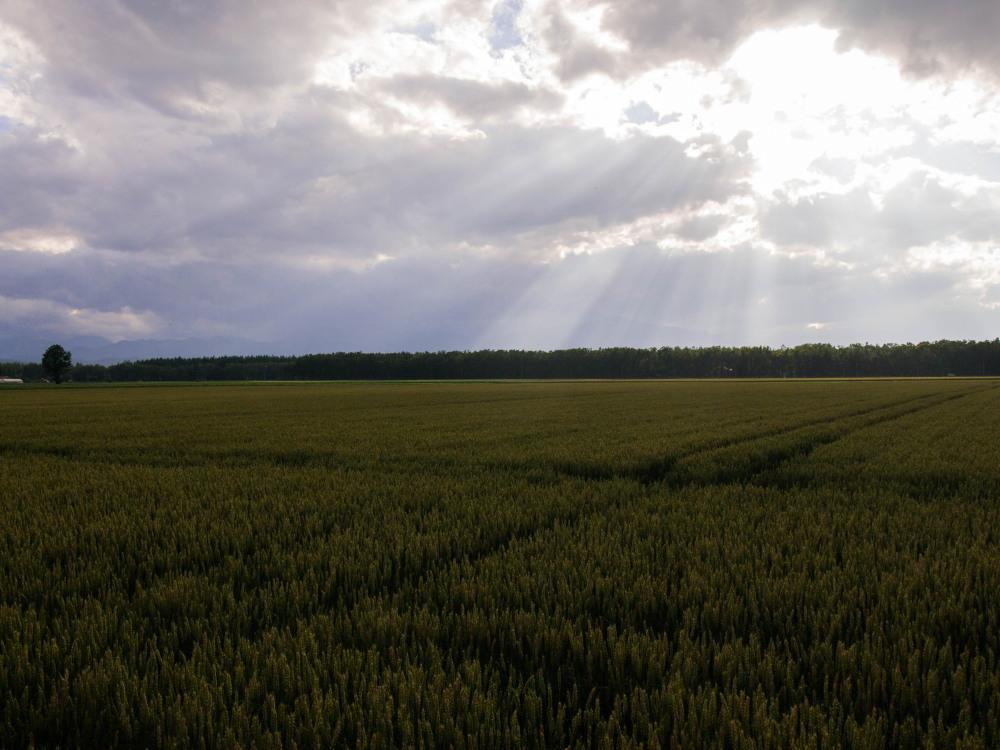 実った黄金色の小麦畑に・・雲の合間から光が射しています。_f0276498_19412458.jpg