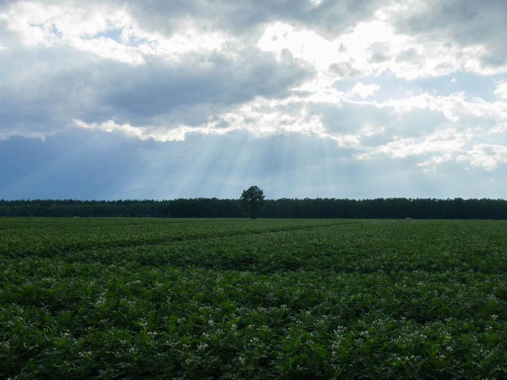 実った黄金色の小麦畑に・・雲の合間から光が射しています。_f0276498_19413945.jpg