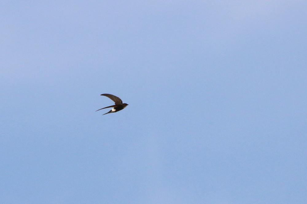高原の鳥(2014年7月12日)_f0235311_972887.jpg