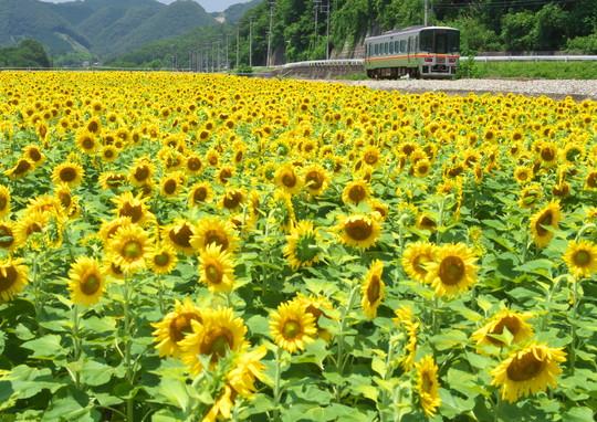JR姫新線のひまわり_f0266284_20591117.jpg
