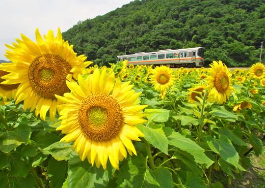 JR姫新線のひまわり_f0266284_20594850.jpg