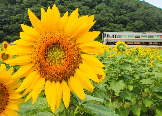 JR姫新線のひまわり_f0266284_2105594.jpg