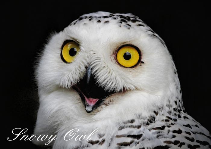 シロフクロウ:Snowy Owl_b0249597_7305123.jpg