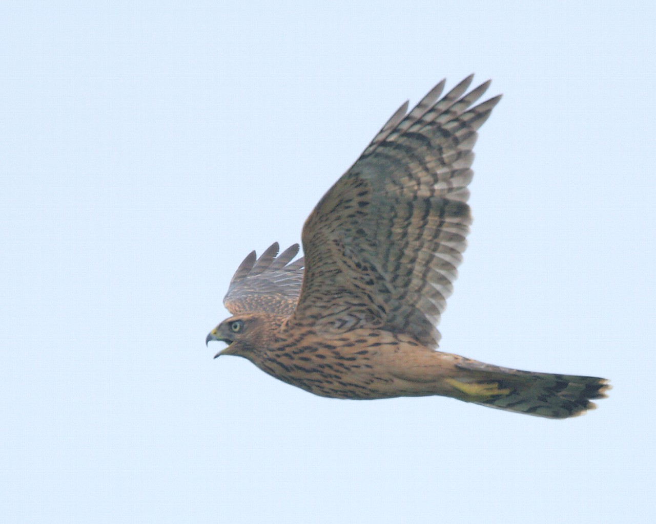 オオタカ幼鳥飛翔_f0105570_2049548.jpg