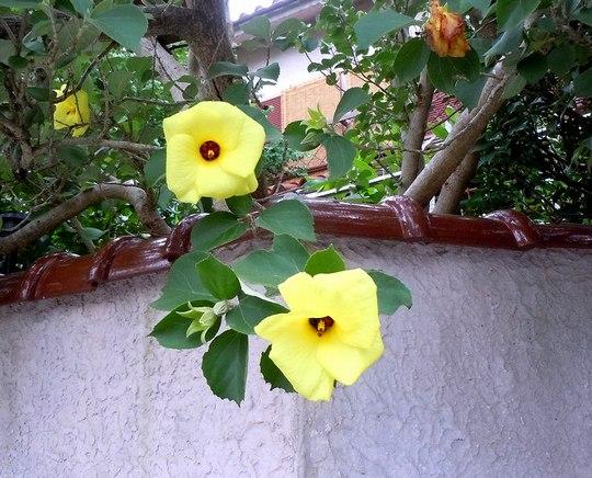 路傍の花、樹々の鳥(41) ~ これも炎天の花 ・・・ ~_b0102572_1657335.jpg