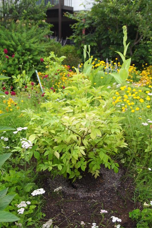 エルダーの苗木をお庭に移植_a0292194_16184359.jpg