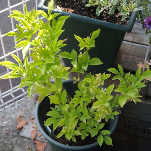エルダーの苗木をお庭に移植_a0292194_16264066.jpg