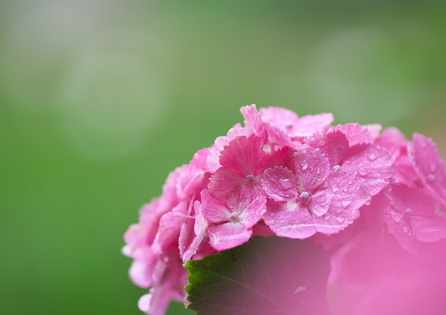 梅雨の本土寺_f0018464_2154085.jpg