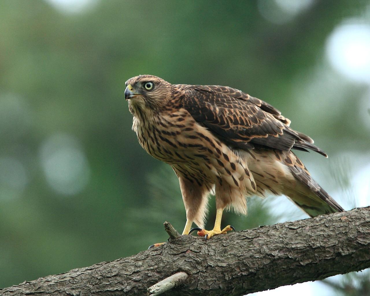 オオタカ幼鳥をアップで_f0105570_21551243.jpg