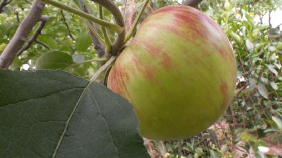 今年のリンゴは_b0214473_10571273.jpg