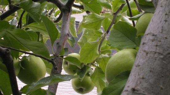 今年のリンゴは_b0214473_10572748.jpg