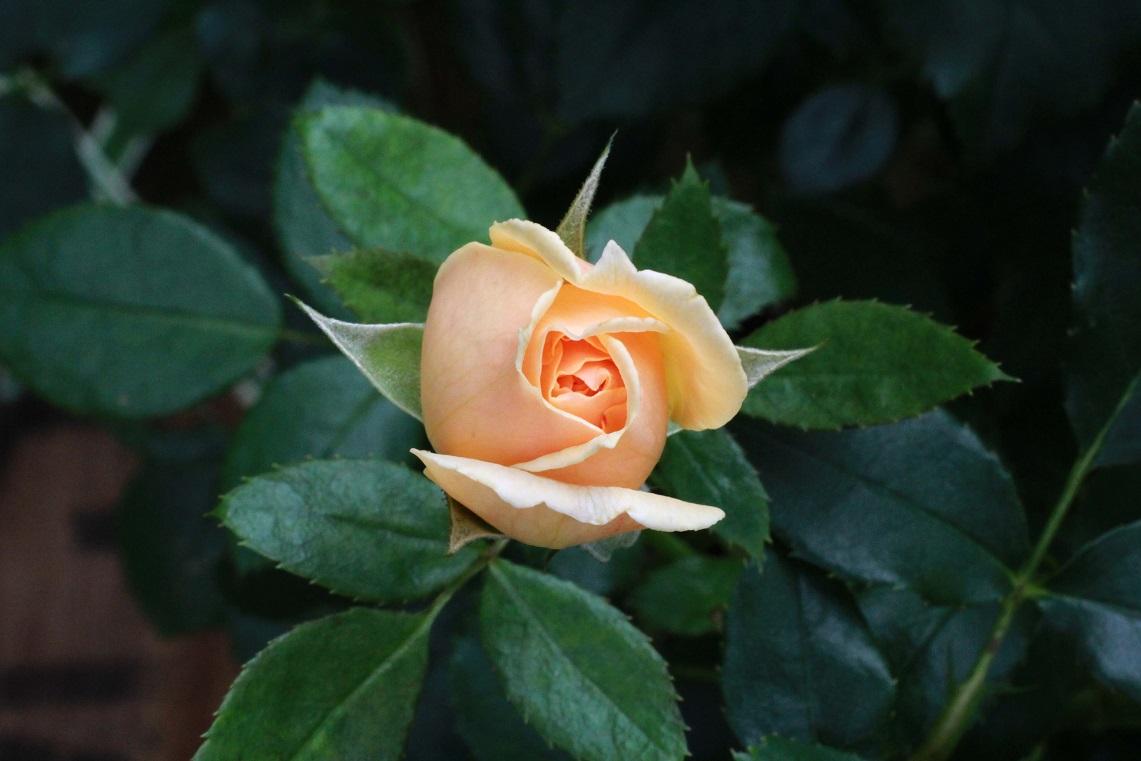 炎天下のバラの園づくり_a0107574_19290582.jpg