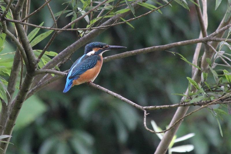 ★コムクドリが下の池で見られました  週末の鳥類園(2014.7.12~13 _e0046474_1134795.jpg