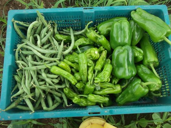 夏野菜は最盛期..._b0137932_15434392.jpg