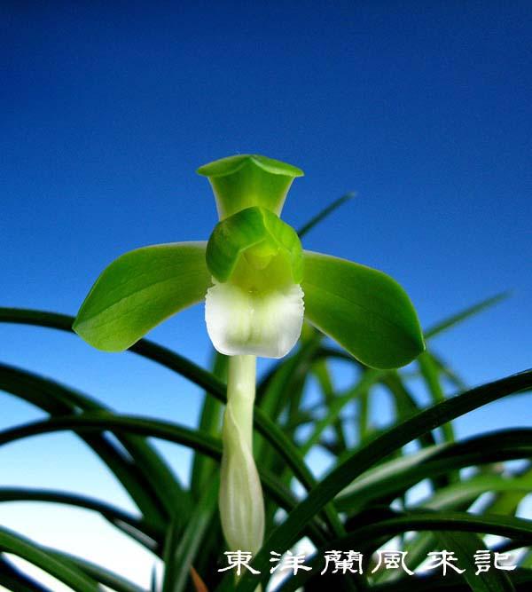 日本春蘭「碧春」                   No.1415_d0103457_22181853.jpg