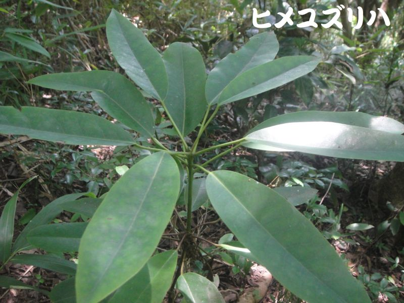 トンボソウとコクランに出会えました in うみべの森を育てる会植物観察     by     (TATE-misaki)_c0108460_17353772.jpg