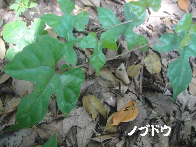 トンボソウとコクランに出会えました in うみべの森を育てる会植物観察     by     (TATE-misaki)_c0108460_17353785.jpg