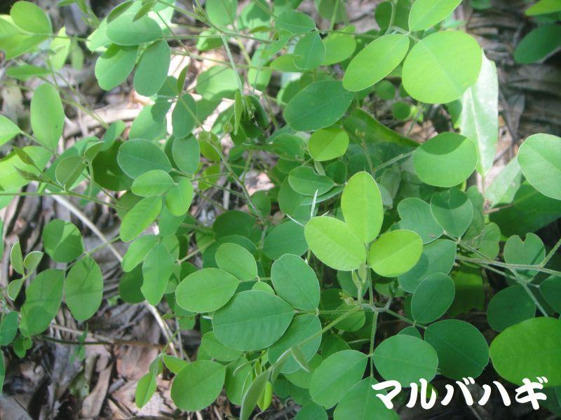 トンボソウとコクランに出会えました in うみべの森を育てる会植物観察     by     (TATE-misaki)_c0108460_17353894.jpg