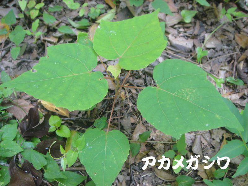 トンボソウとコクランに出会えました in うみべの森を育てる会植物観察     by     (TATE-misaki)_c0108460_17353976.jpg