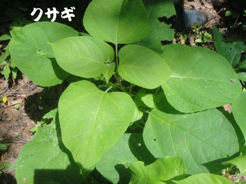 トンボソウとコクランに出会えました in うみべの森を育てる会植物観察     by     (TATE-misaki)_c0108460_17353979.jpg