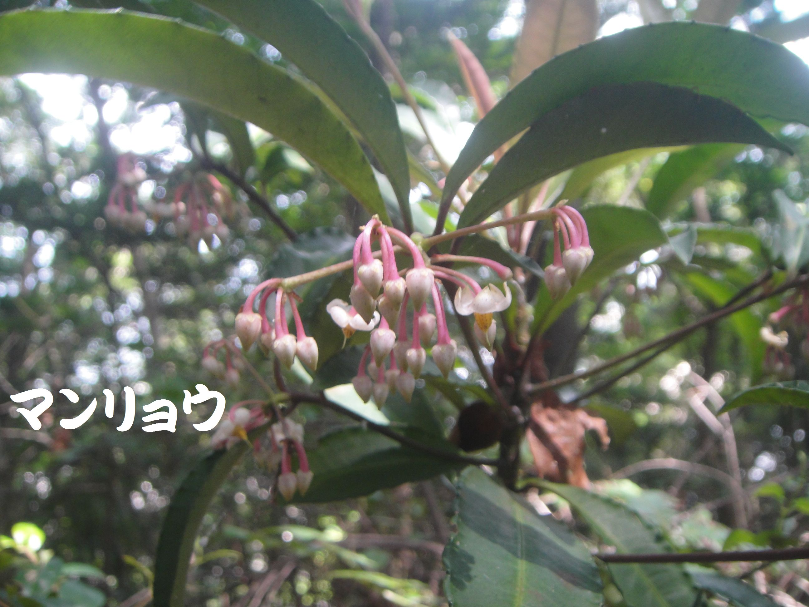トンボソウとコクランに出会えました in うみべの森を育てる会植物観察     by     (TATE-misaki)_c0108460_17394513.jpg