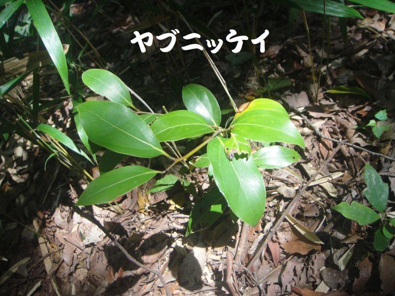 トンボソウとコクランに出会えました in うみべの森を育てる会植物観察     by     (TATE-misaki)_c0108460_17394551.jpg