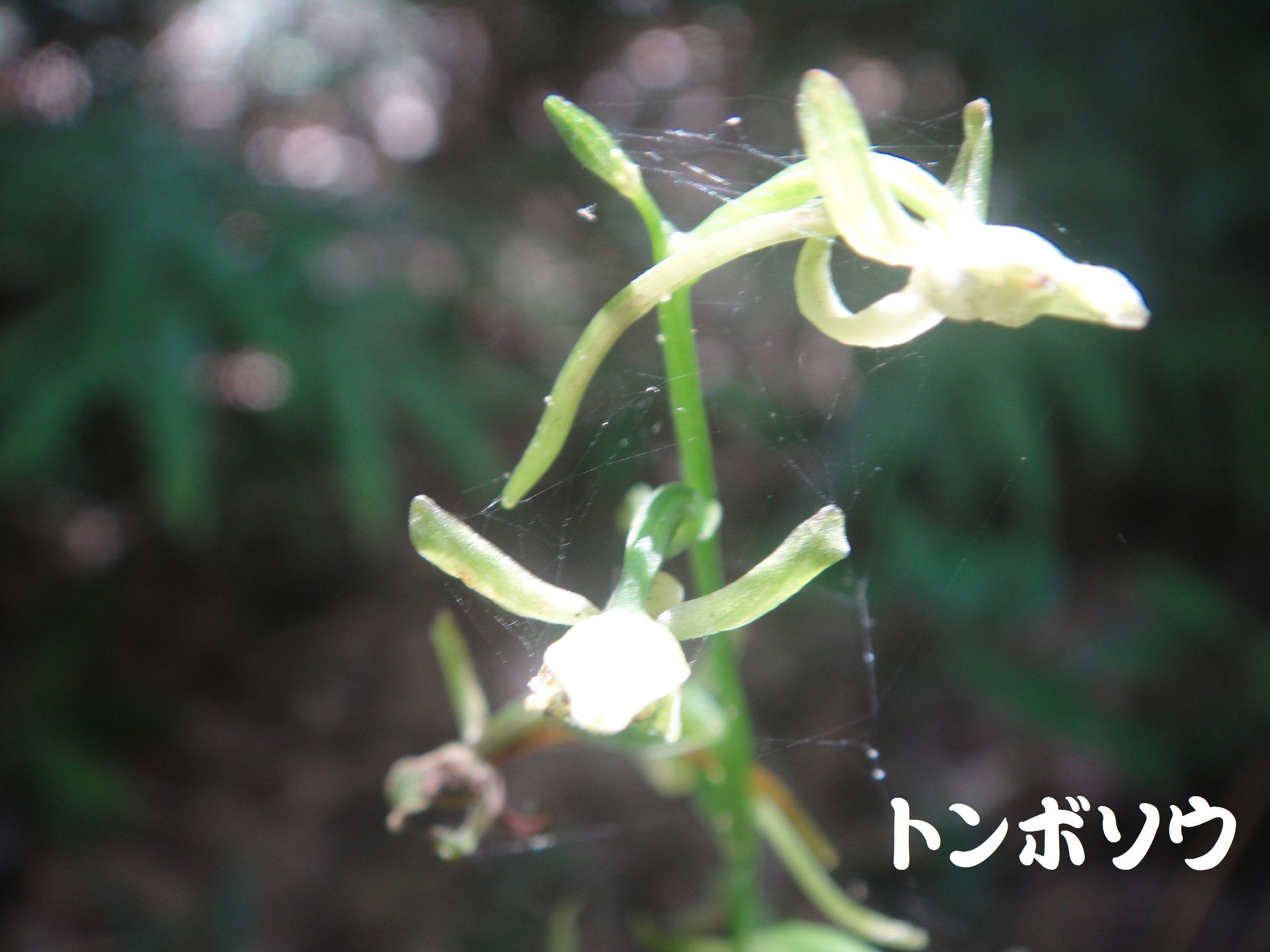 トンボソウとコクランに出会えました in うみべの森を育てる会植物観察     by     (TATE-misaki)_c0108460_17394590.jpg