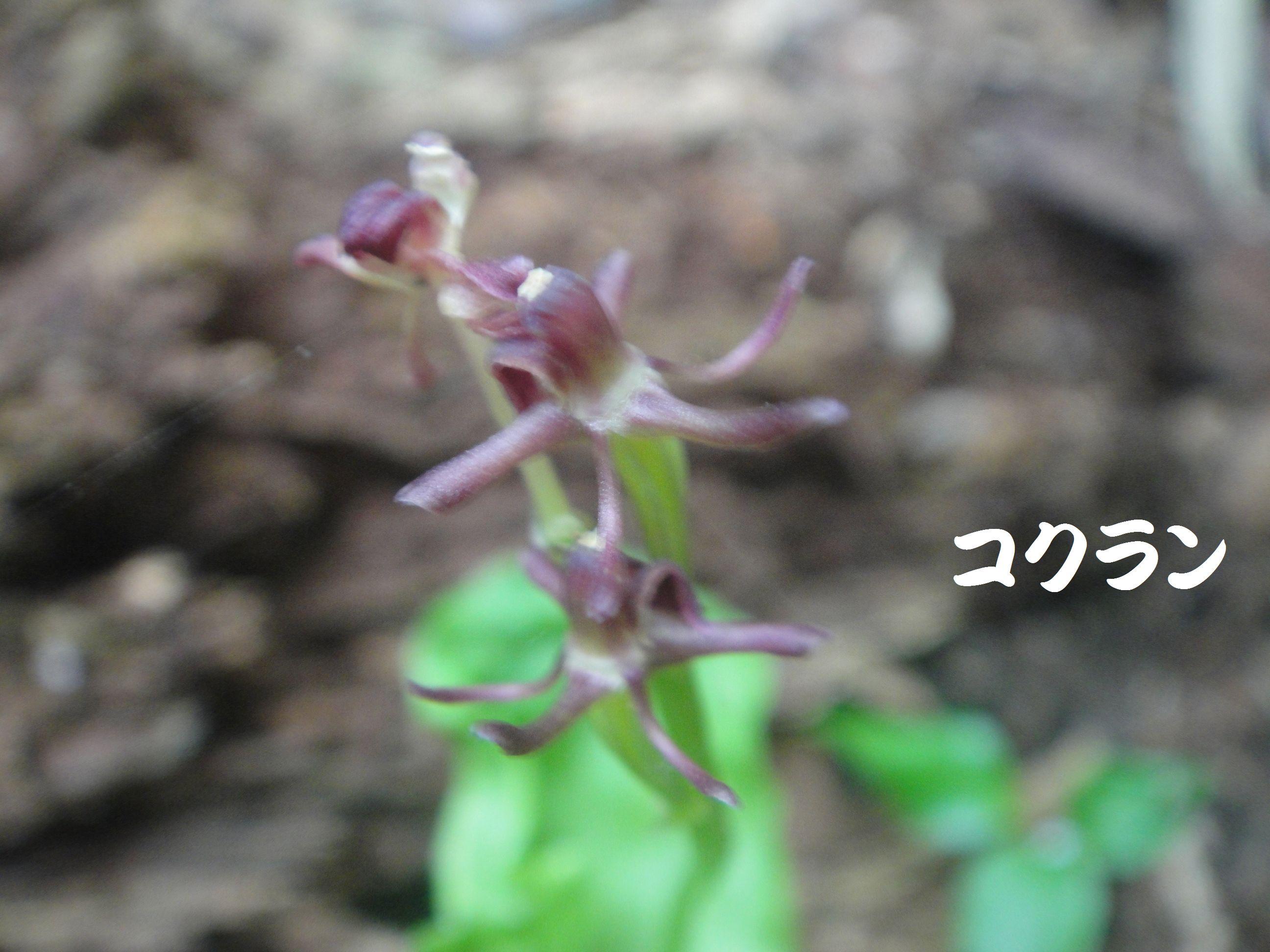 トンボソウとコクランに出会えました in うみべの森を育てる会植物観察     by     (TATE-misaki)_c0108460_17394636.jpg