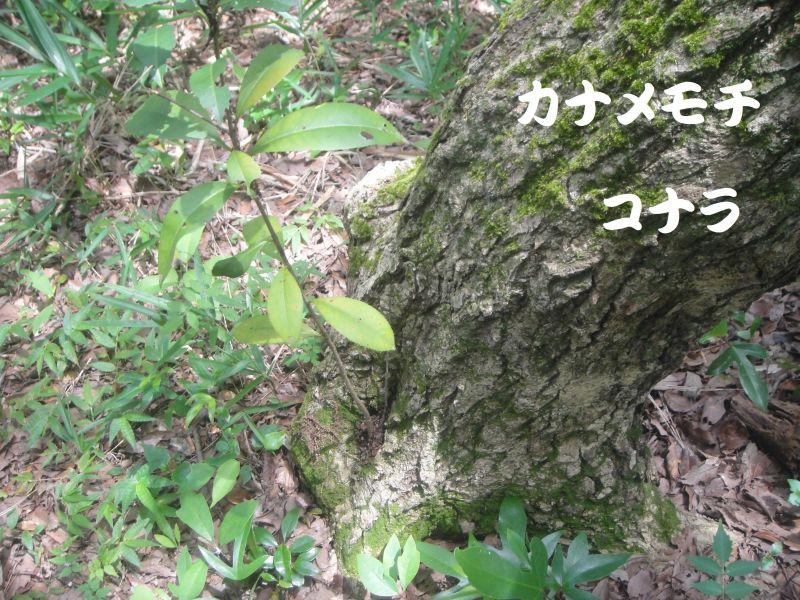 トンボソウとコクランに出会えました in うみべの森を育てる会植物観察     by     (TATE-misaki)_c0108460_17394645.jpg