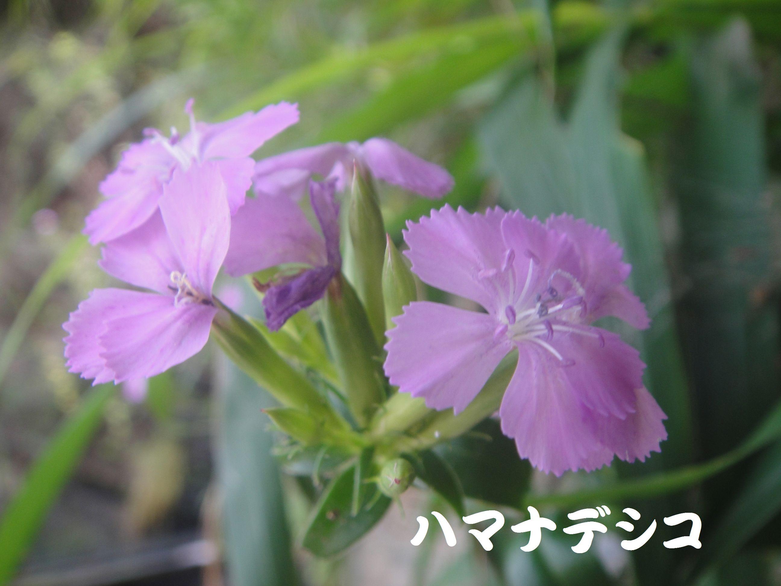 トンボソウとコクランに出会えました in うみべの森を育てる会植物観察     by     (TATE-misaki)_c0108460_17394776.jpg
