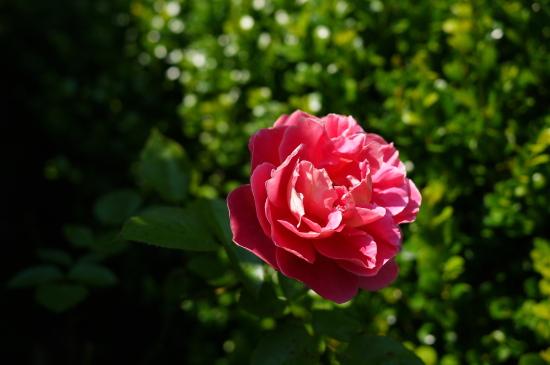 我が家最古参のバラが咲きました♪_d0129786_14185325.jpg