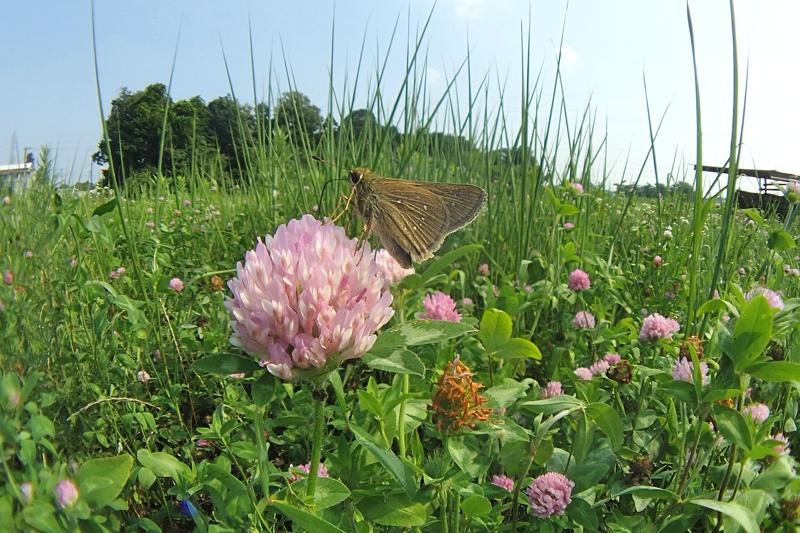 小畔川便り(セセリの飛翔:2014/7/15.16)_f0031682_14130826.jpg