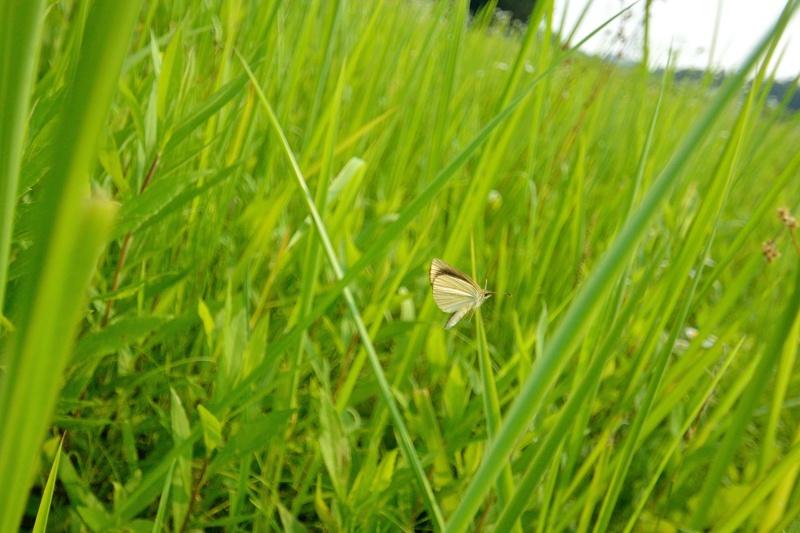 小畔川便り(セセリの飛翔:2014/7/15.16)_f0031682_14130995.jpg