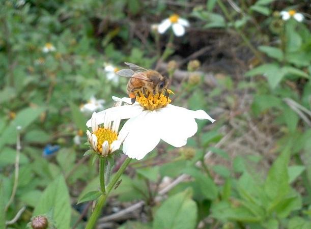 セイヨウミツバチと生態系への悪影響_a0247891_3143520.jpg