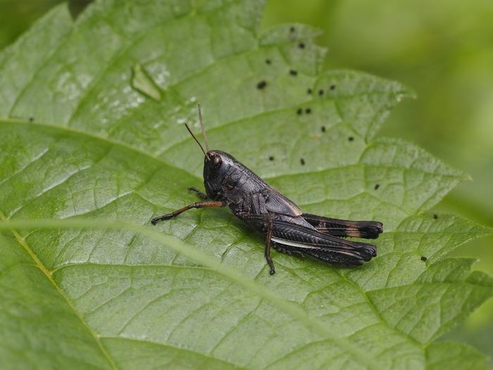 ツマグロイナゴ 幼虫?_c0116915_005954.jpg