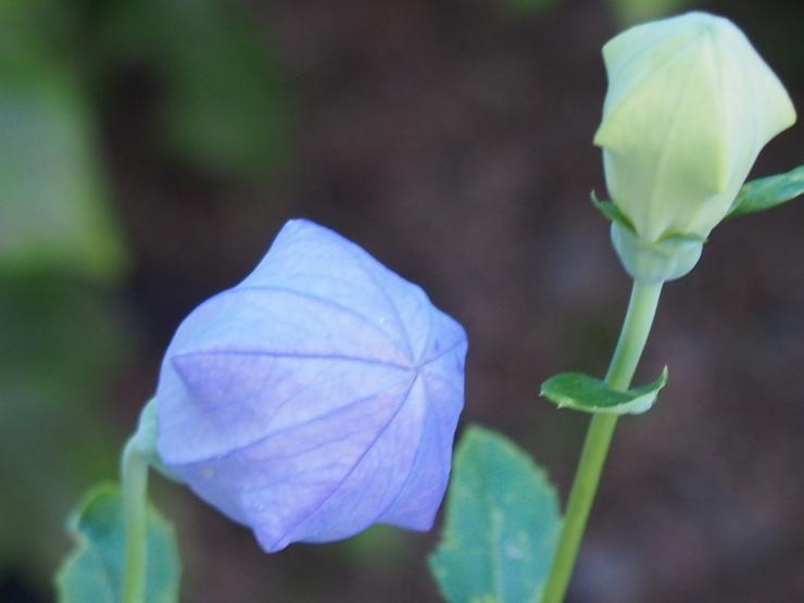 アーティーチョークの花 ②_f0249710_01301690.jpg