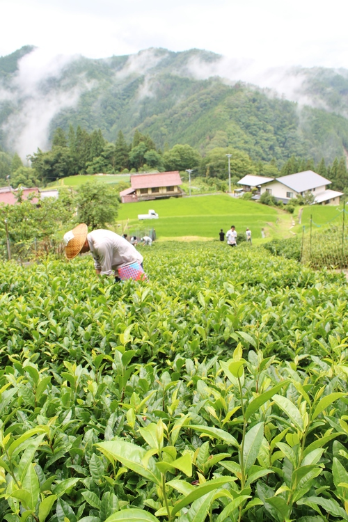稲武梨野産桶茶葉(二年目)_b0220318_23152038.jpg