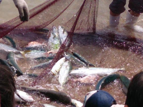 毎年恒例の大浜漁協主催 地引き網が伊豫水軍前の海岸で行われました_b0325627_16505961.jpg
