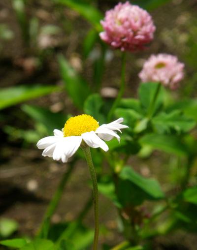種から育てたハブランサス、あかつめくさ、ルコウソウなど_a0136293_18421844.jpg