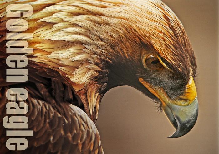 イヌワシ:Golden eagle_b0249597_7151996.jpg