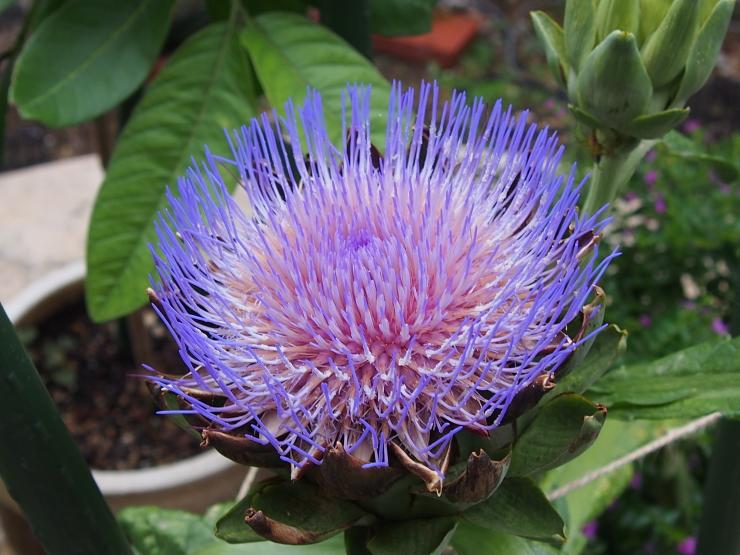 アーティーチョークの花とキキョウの花とクマゼミ_f0249710_23462189.jpg