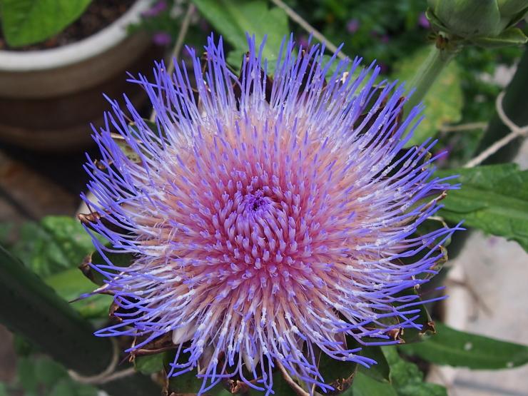 アーティーチョークの花とキキョウの花とクマゼミ_f0249710_23470886.jpg
