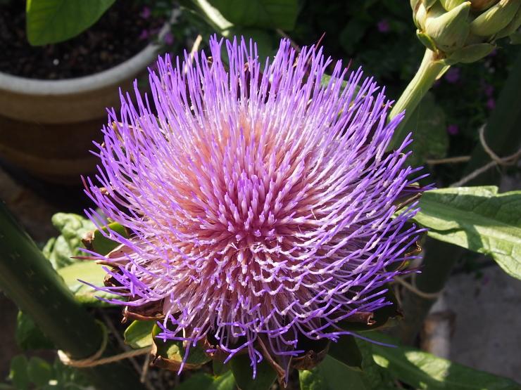 アーティーチョークの花とキキョウの花とクマゼミ_f0249710_23483822.jpg