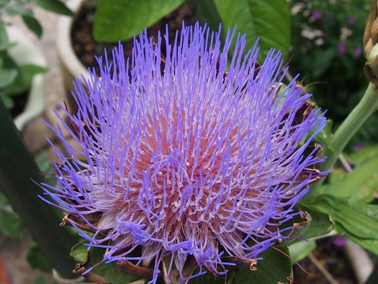 アーティーチョークの花とキキョウの花とクマゼミ_f0249710_23501360.jpg